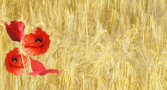 red-poppy-143484_1280