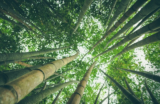 bamboo-forest-1245966_640