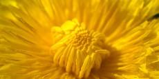 dandelion-3383961_640